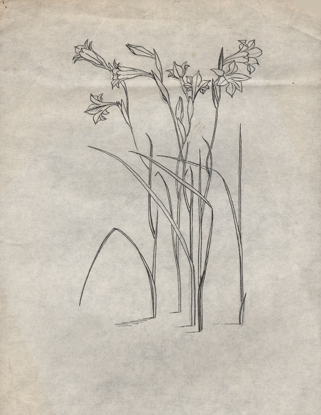 Artist Evelyn Dunbar: Studies of Gladiolus tristis for page 103 of Gardeners' Choice, c.1936 [HMO 36, cat 51]