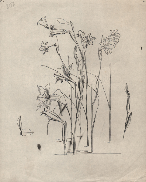 Artist Evelyn Dunbar: Studies of Gladiolus tristis for page 103 of Gardeners' Choice, c.1936 [HMO 36, cat 52]