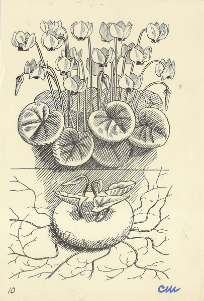 Artist Evelyn Dunbar and Charles Mahoney: Cyclamen Neapolitanum, design for Gardeners Choice 1937