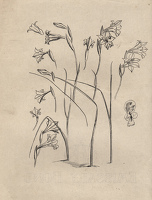Artist Evelyn Dunbar: Studies of Gladiolus tristis for page 103 of Gardeners' Choice, c.1936 [HMO 36, cat 48]