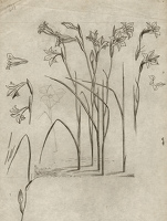 Artist Evelyn Dunbar: Studies of Gladiolus tristis for page 103 of Gardeners' Choice, c.1936 [HMO 36, cat 50]