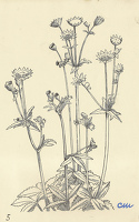 Artist Evelyn Dunbar and Charles Mahoney: Astrantia Major, design for Gardeners Choice, 1937