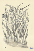 Artist Evelyn Dunbar and Charles Mahoney: Fritillaria Meleagris