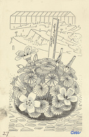 Artist Evelyn Dunbar and Charles Mahoney: Oxalis adenophylla, design for page 129, Gardeners Choice 1937