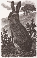 Artist Charles Frederick Tunnicliffe R.A.: Sitting Hare, 1949
