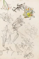 Artist Charles Mahoney: Lily heads and stems, 1950s