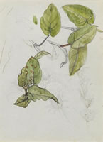 Artist Charles Mahoney: Study of Polygonum amplexicaute leaves (recto); study (verso)